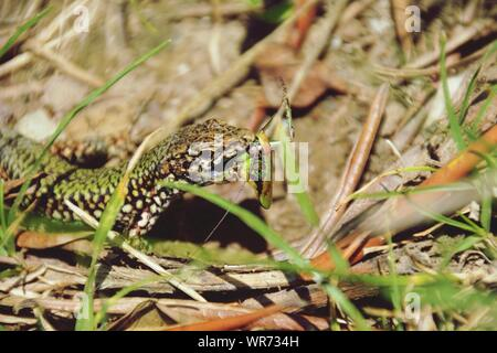 Lizard Essen Mantis - Stockfoto