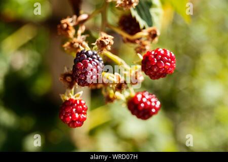 Reifen roten und schwarzen Himbeeren in einen Gemüsegarten, rote Früchte mit hellgrünen Blätter - Stockfoto
