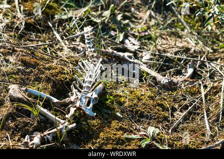 High Angle View Of Animal Skelett auf Feld - Stockfoto