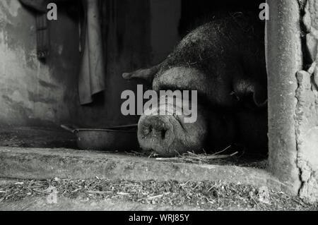 Schwein Im Tiergehege Schlafen - Stockfoto