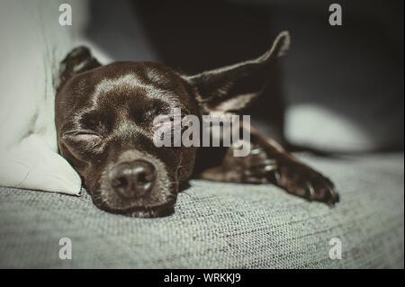 In der Nähe von Chihuahua Welpen auf dem Sofa zu Hause schlafen - Stockfoto