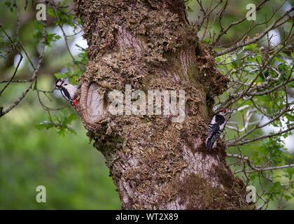 Buntspecht (Dendrocopos major), Morvern Schottland - Stockfoto