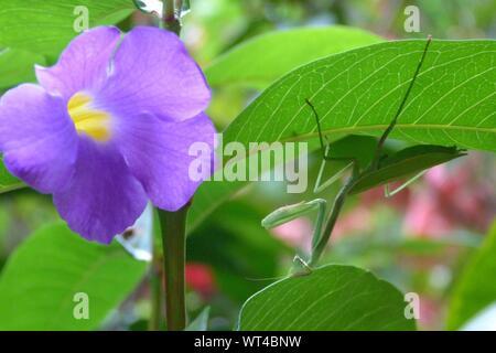 Nahaufnahme der Heuschrecke auf Blume Blatt - Stockfoto