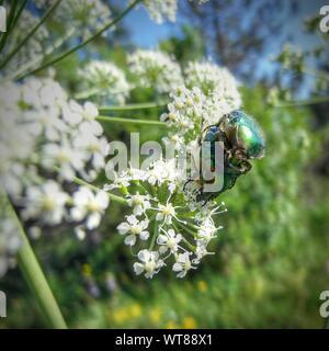 Käfer Paarung auf Blume - Stockfoto