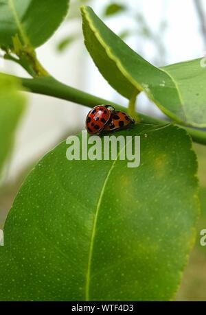 Käfer Paarung auf Blatt - Stockfoto