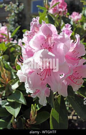 Rosa Rhododendron. Eine Blüte rosa Rhododendron Bush im Frühjahr - Stockfoto