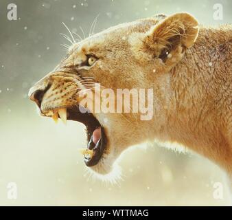 Nahaufnahme der Brüllende Löwin Stockfoto