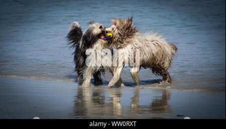 Hunde kämpfen für Ball am Strand - Stockfoto