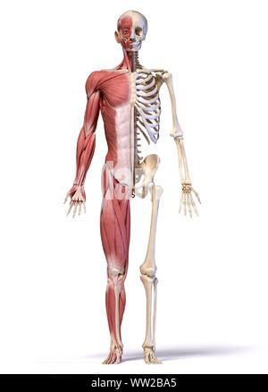 Menschliche Körper, 3D-Darstellung. Vollständige Abbildung männliche Muskel- und Skeletterkrankungen Systeme, Vorderansicht auf weißem Hintergrund. - Stockfoto