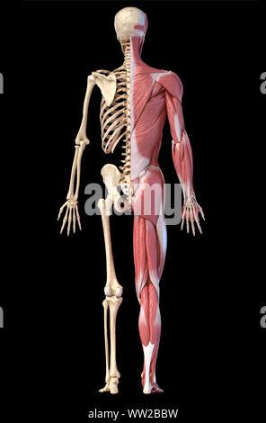 Menschliche Körper, 3D-Darstellung. Vollständige Abbildung männliche Muskel- und Skeletterkrankungen Systeme, Rückansicht auf schwarzem Hintergrund. - Stockfoto
