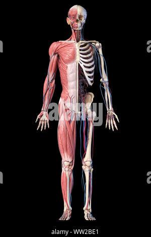 Die menschliche Anatomie full body Skelett, Muskulatur und Herz-Kreislauf-System. Vorderansicht, auf schwarzem Hintergrund. 3D-Darstellung - Stockfoto