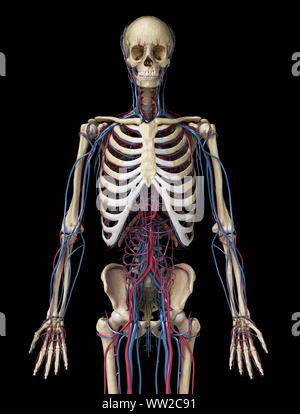 Menschliche Körper Anatomie. 3d-Abbildung: 3/4 Skelett- und Herz-Kreislauf-System. Von vorne betrachtet. Auf schwarzem Hintergrund. - Stockfoto