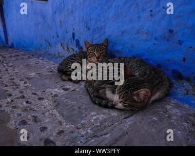 Marokko Fes zwei Katzen auf der Straße in die blaue Stadt liegen - Stockfoto