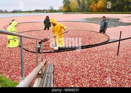 Landwirte in regenjacken die Ernte roter Cranberries schwimmt auf der Oberfläche, während der Regenschauer, im Herbst, auf der Farm außerhalb von Wisconsin Rapids, Wisconsin, USA - Stockfoto