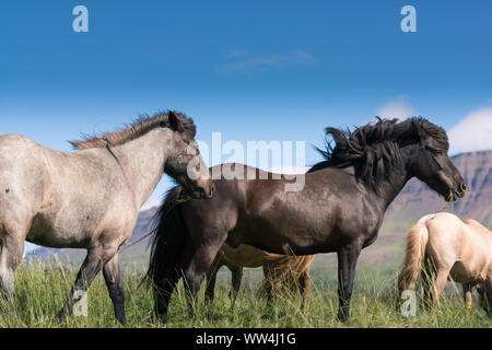 Islandpferde - Stockfoto