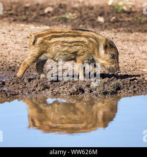 Baby Wildschwein, Sus scrofa, wandern durch Schlamm und in einer Pfütze wider. Quadratische Komposition. - Stockfoto