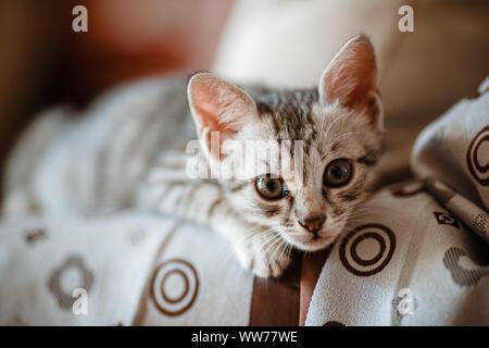 Neugierig graue Kätzchen. Kleine Katze zu Hause. Kleines Haustier. Neugierig - Stockfoto