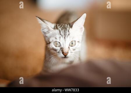 Niedliche graue kleine Katze im Karton. Porträt eines lustigen Kitty suchen. Zeit für Spiel und Unterhaltung - Stockfoto