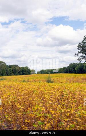 Sojabohnen in einem Ontario Feld erwarten Ernte im frühen Herbst, um aktuellen globalen Handel und die Herausforderungen, denen die Landwirte verletzt. - Stockfoto
