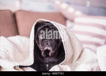 Mops Hund Spaß spielen unter der Decke. Liegen auf einem braunen Couch, schauen Sie mit zarten Augen in einer weißen Decke gewickelt. - Stockfoto
