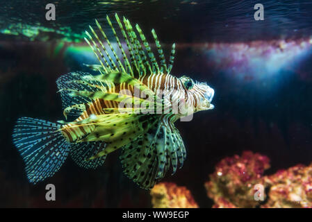 In der Nähe auf einem roten Feuerfische - Korallenriff Fische in großen Aquarium