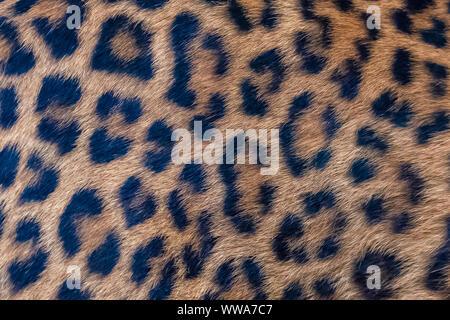 Leopard, einem schönen Panther, Haut - Stockfoto