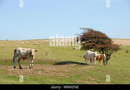 Nationalparks South Downs, Sussex, England, UK. Kühe auf dem South Downs Way, die Ackerland Kreuze entlang der Oberseite der Hügel. Kühe, South Downs Way. - Stockfoto