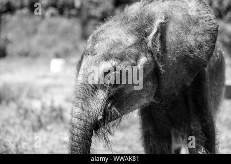 Baby Waldelefant Kalb in Uganda Wildlife Education Center, Entebbe, Uganda - Stockfoto