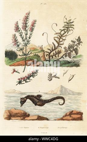 Moose, Thuidium tamariscinum und Calliergonella cuspidata 1-5, kurze-snouted Seahorse, Hippocampus Hippocampus 6 und Ysop Hyssopus officinalis. Hypnes, Hyppocampe, Hysope. Papierkörbe Stahlstich von Pfitzer nach einer Illustration von A. Carie Baron von Felix-Edouard Guerin-Meneville's Wörterbuch Pittoresque d'Histoire Naturelle (malerische Wörterbuch der Naturgeschichte), Paris, 1834-39. - Stockfoto