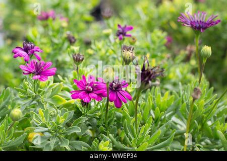 Eine Mischung von osteospermum pider Purple' und '4D Purple' Blumen. - Stockfoto