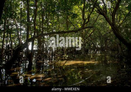 Ansicht der Mangrovenwald in der Matheson Hängematte Miami-Dade County Park am Ufer des Biscayne Bay in Miami, Florida, USA - Stockfoto