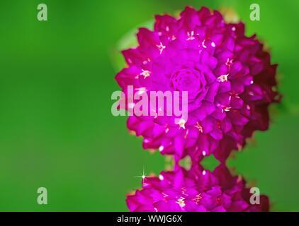 Nahaufnahme der Blüte, Globus Amaranth oder Gomphrena nana Blume mit Wasser Reflexion - Stockfoto