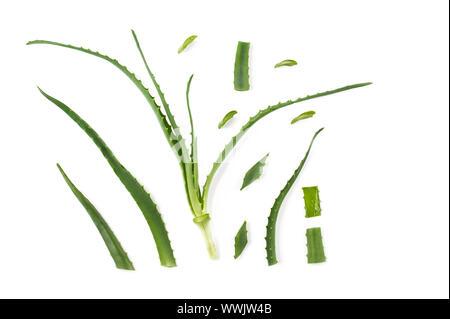 Aloe vera. Frische grüne Heilpflanze. Layout aus Blättern auf weißem Hintergrund. Flach. - Stockfoto