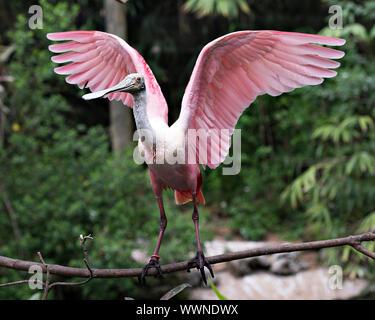 Rosalöffler Vogel mit seinen Flügeln, die Hocken auf einem Zweig genießen ihre Umgebung und Umwelt. - Stockfoto