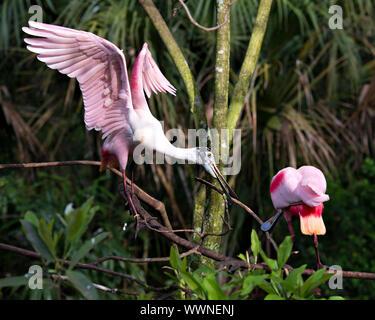Rosalöffler vogel Paar in der umwerbung Barsch auf Ästen genießen ihre Umgebung und Umwelt. - Stockfoto