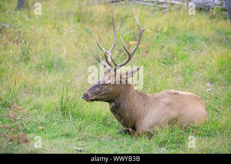 Weißwedelhirsche buck Ruhen im Gras während der Brunft im Herbst Saison. Buck an der Reife des Alters in der Zeit der Kreuzung mit dem Weibchen. Porträt.
