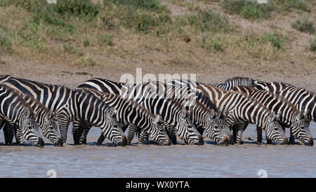 Eine Herde von ebenen Zebras (Equus quagga) trinken im Hidden Valley Lake, Tansania, Ostafrika, Südafrika - Stockfoto