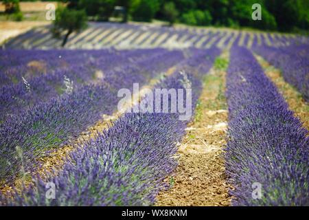 schönes Bild von Lavendelfeld - Stockfoto