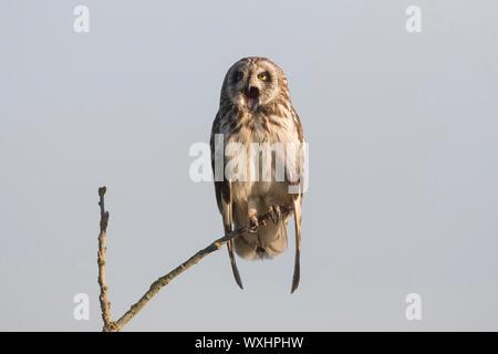 Sumpfohreule (Asio Flammeus), auf einem Zweig sitzend beim Gähnen. Deutschland - Stockfoto