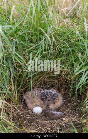 Sumpfohreule (Asio Flammeus). Küken und Ei im Nest. Deutschland - Stockfoto
