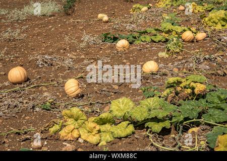 Kürbis Feld. Kürbisse wachsen in einem Gemüsegarten - Stockfoto
