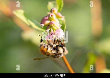 Biene auf einer Blume, Vancouver Island, British Columbia, Kanada - Stockfoto