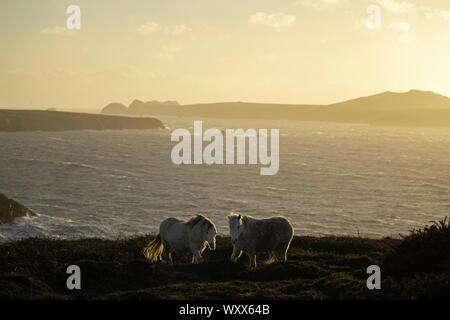 Zwei Welsh Mountain Ponys an der Küste von Pembrokeshire, Großbritannien. - Stockfoto