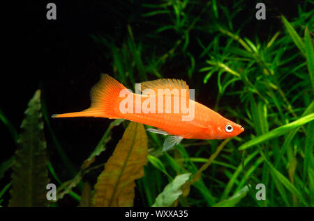 Red Swordtail (Xiphophorus helleri), männlich - Stockfoto