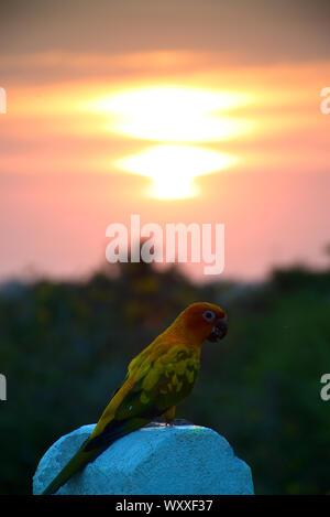 Bunten tropischen Vogel mit Sonnenuntergang Papagei - Stockfoto
