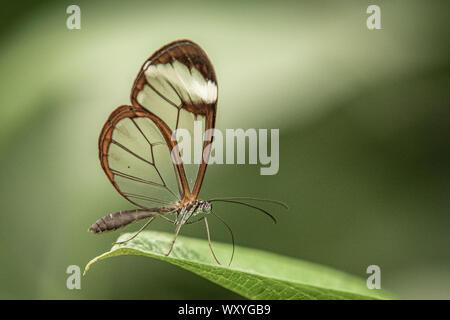 In der Nähe von glasswing Schmetterling - Stockfoto