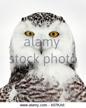 Schneeeule Porträt, Ottawa, Kanada - Stockfoto