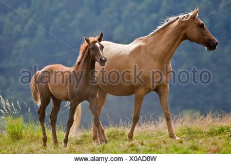 Arab-Barb Pferd. Stute und Fohlen auf einer Wiese - Stockfoto