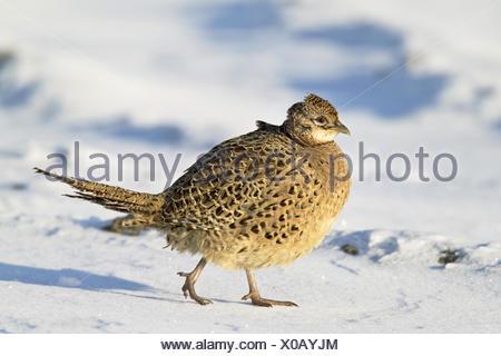 gemeinsamen Fasan, Kaukasus Fasane, kaukasische Fasan (Phasianus Colchicus), weibliche im Winter, Deutschland, Schleswig-Holstein