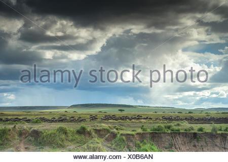 Migrieren von Gnus in Kenias Masai Mara National Reserve. - Stockfoto